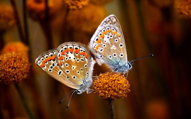 Two Butterfly True Love