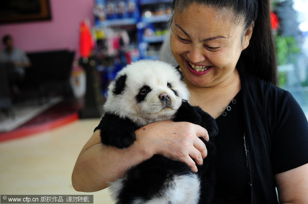 ... chow chow dogs that have been dyed black-and-white to look like pandas