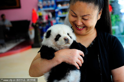 A  woman holds a pair of chow chow dogs that have been dyed like pandas in Xi'an, Shaanxi province on June 18, 2011. [Photo/CFP]