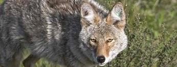 Cape Breton Coyote.