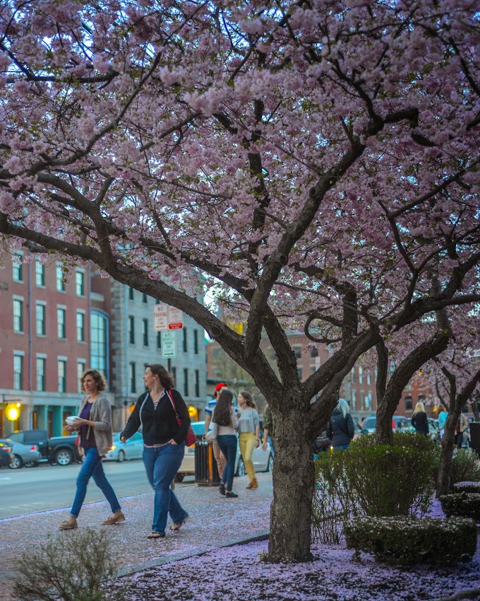 Portland, Maine May 2014 Spring Tree in Bloom Commercial Street photo by Corey Templeton