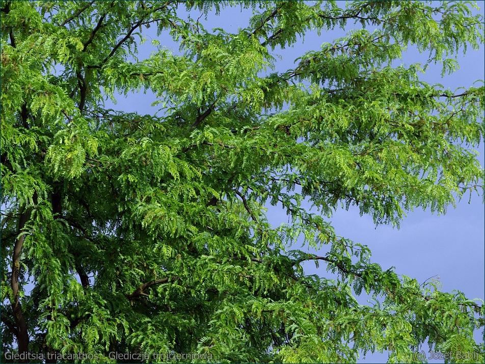 Gleditsia triacanthos - Glediczja trójcierniowa, Iglicznia trójcieniowa liście