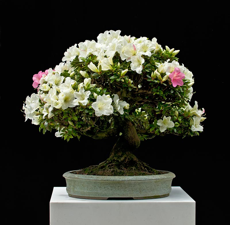 Walter pall bonsai adventures azalea 2 again for Azalea bonsai
