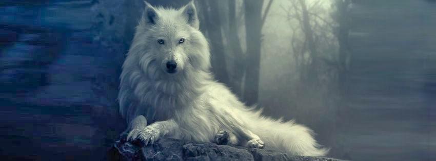 Une magnifique couverture facebook loup blanc