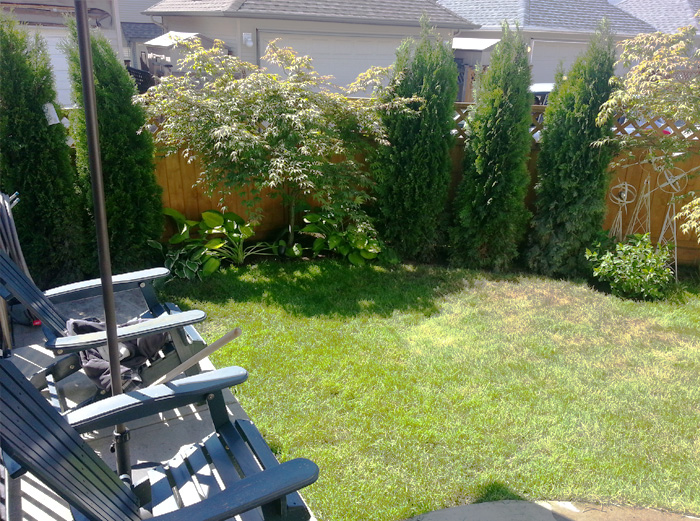 Backyard Trees For Privacy : our Japanese Maple Trees last year and they gave us some privacy