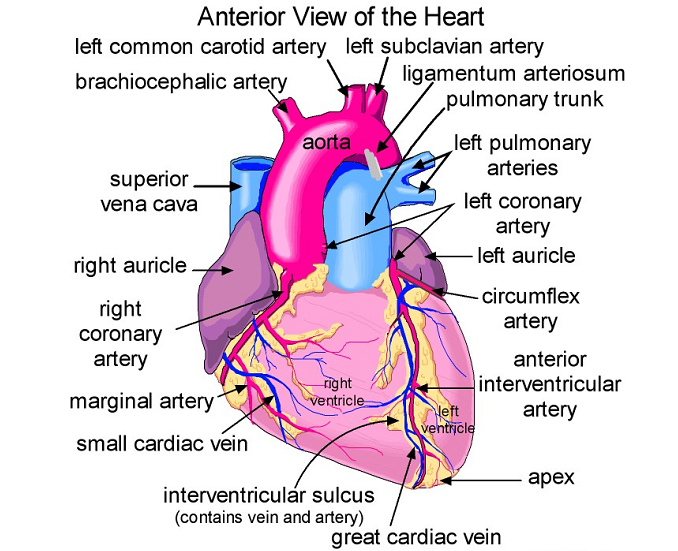 Biochemistry Class notes: Cardiac Anatomy: Basic