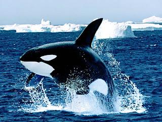 emerging killer whale