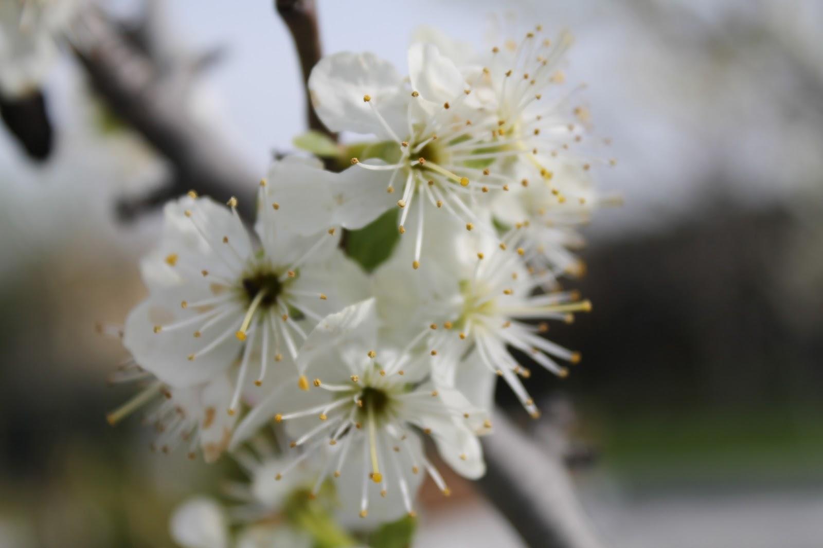Cuando podar cerezos y ciruelos perfect el curso se for Cuando podar cerezos y ciruelos