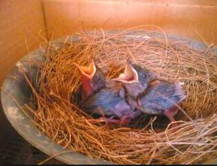 cara merawat burung dari piyikan