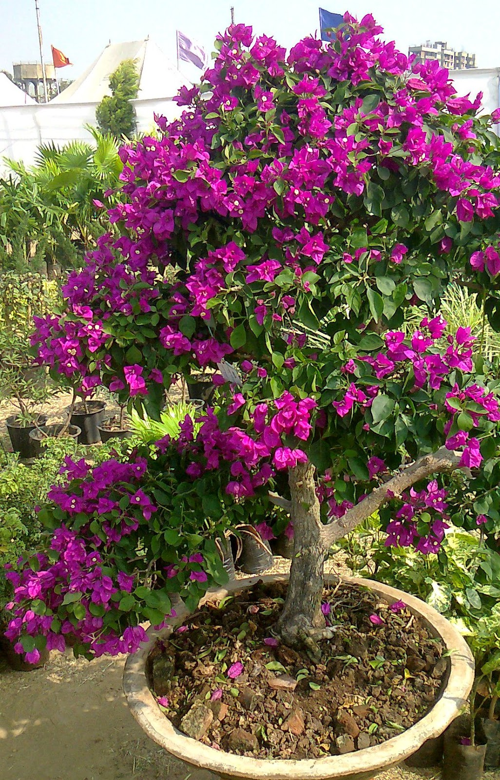 bougainvillea bonsai ahmedabad