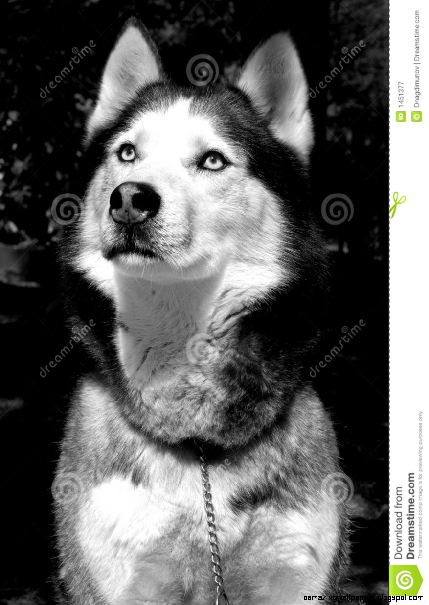 Siberian Husky Royalty Free Stock Photography   Image 1451377