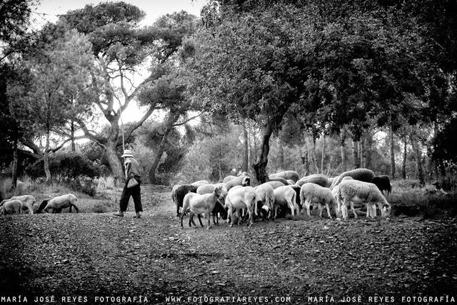 Rebaños de ovejas