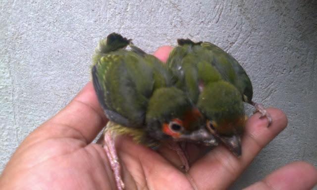 Anakan Burung Engkok