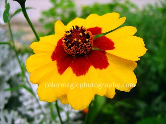 Plains coreopsis-Coreopsis tinctoria