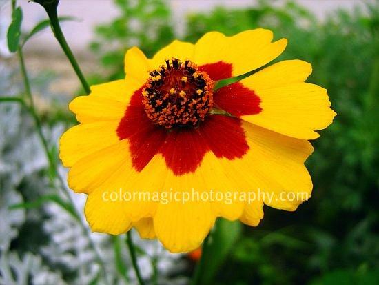 Plains coreopsis-Coreopsis tinctoria