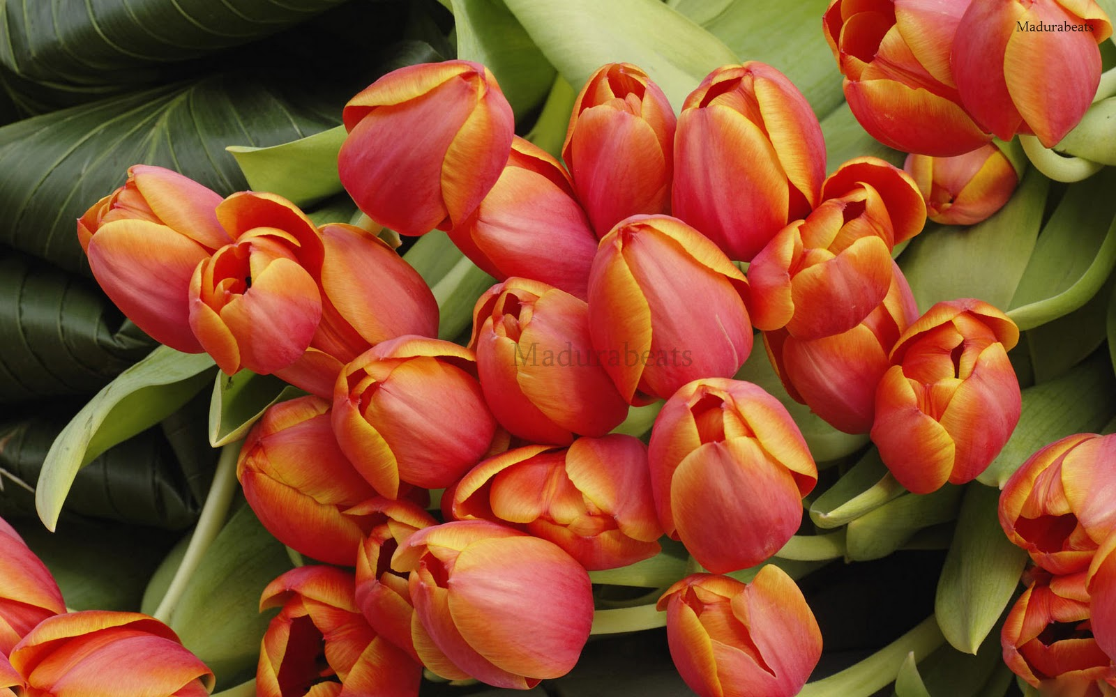 Tulips_blooming_garden_plants_hd_wallpaper1,Flower images, Wide screen wallpapers,fresh flowers,Beautiful flowers