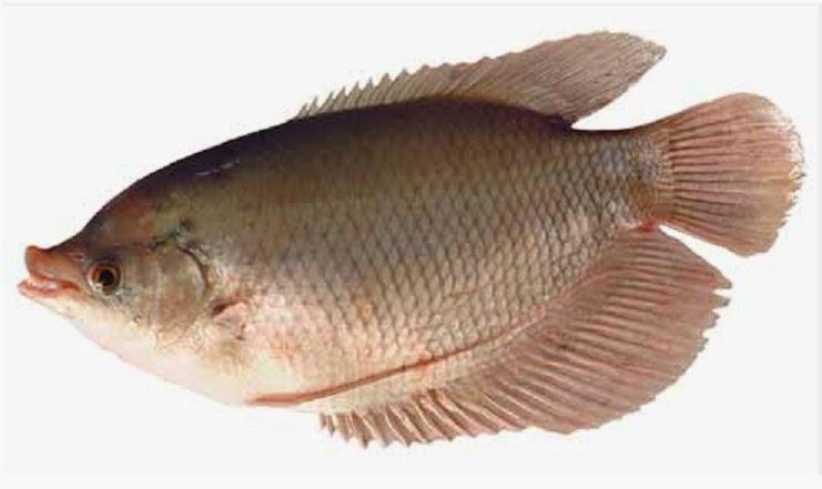 Budi Daya Ikan Mengidentifikasi Jenis Jenis Ikan Air Tawar Dan Laut
