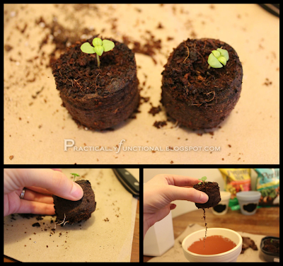 Top: true basil leaves, bottom: roots growing out of the bottom of the pellets
