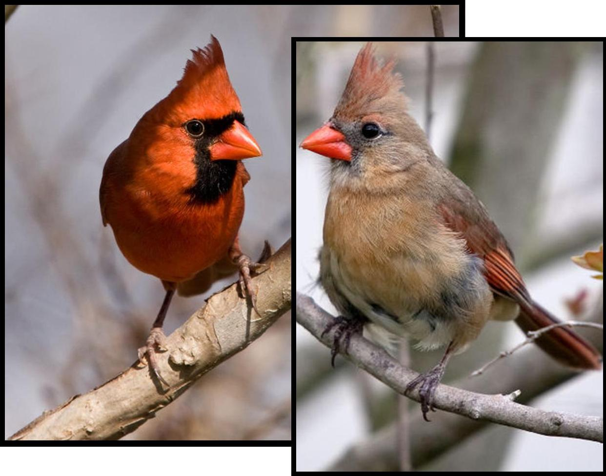 An Old Feisty Female Cardinal Bit the Same Scientist