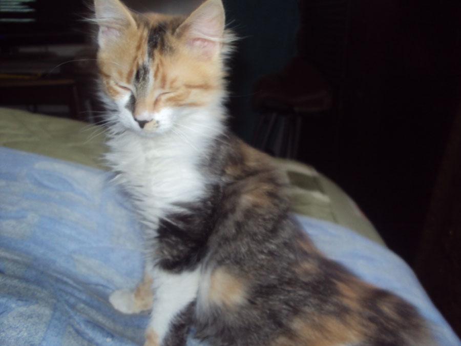 Gatos de pelo corto en adopcion