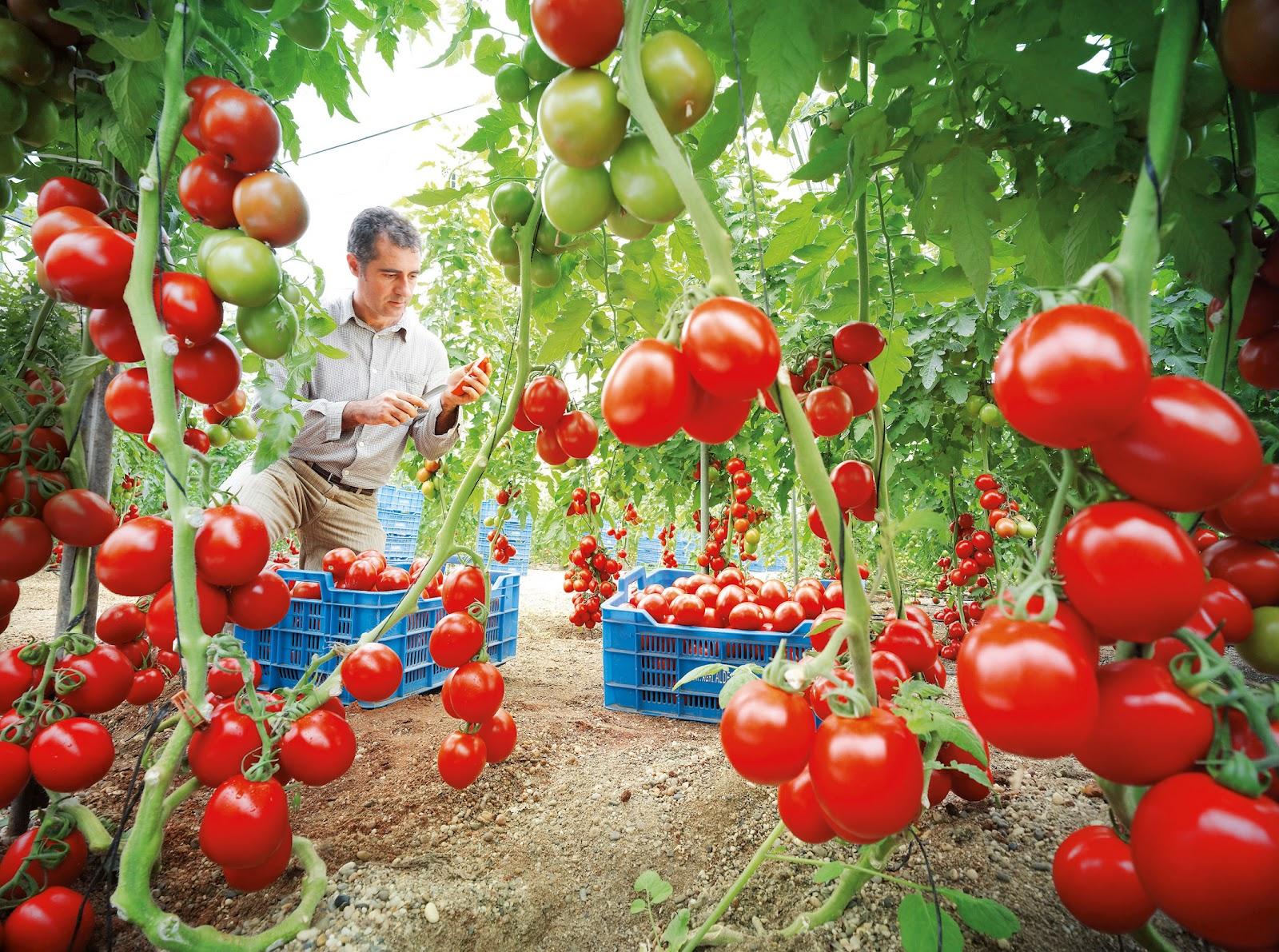 Diversidad de plantas cultivo de tomate for Plantaciones verticales