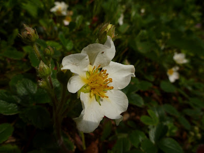 White rock rose