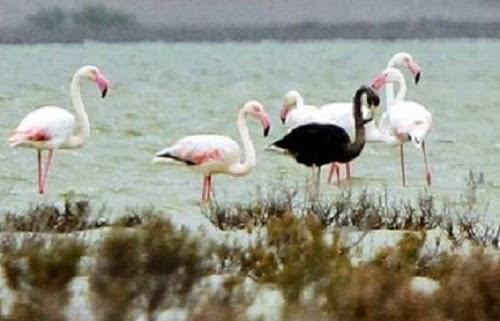 Flamingo hitam ditemui di Cyprus