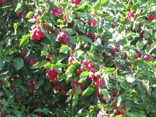 crabapple tree in fruit