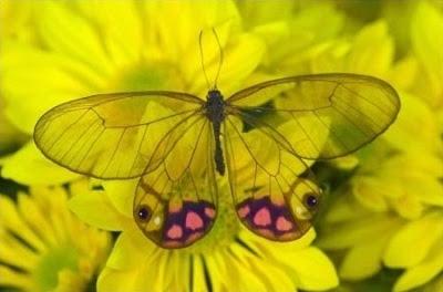 أغرب نقطة في العالم سبحان الله (بالصور)  Most_beautiful_butterfly_in_the_world