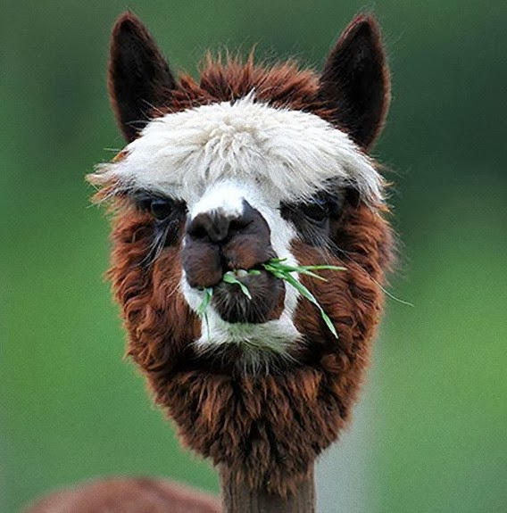 alpaca eating enjoying his grass