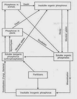 My Scientific Blog Research and Articles The Phosphorous Cycle