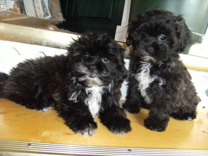 Cute puppy dogs black shih tzu puppies