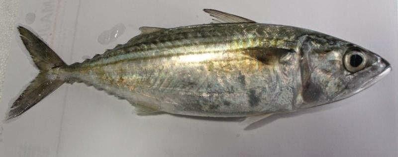 gambar ikan betok dunia binatang