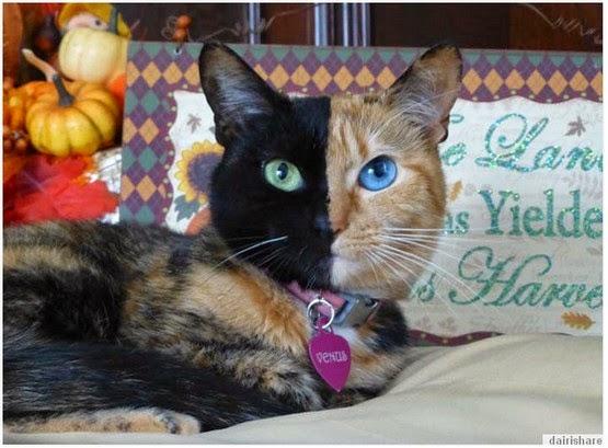 Kucing Paling Unik Memiliki 2 Warna Berbeza Di Wajah Dan Mata