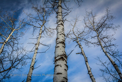 Black Hills Photography, Trees, Vertical Line Photography, South Dakota
