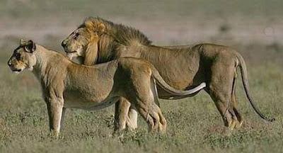 Foto Singa Afrika Barat (Panthera Leo Senegalensis)