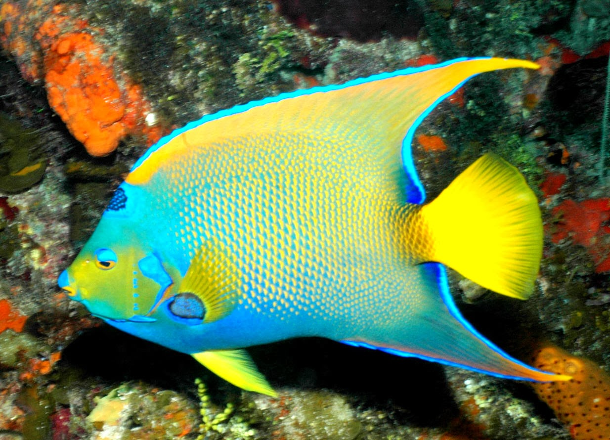 queen angelfish wild life animal
