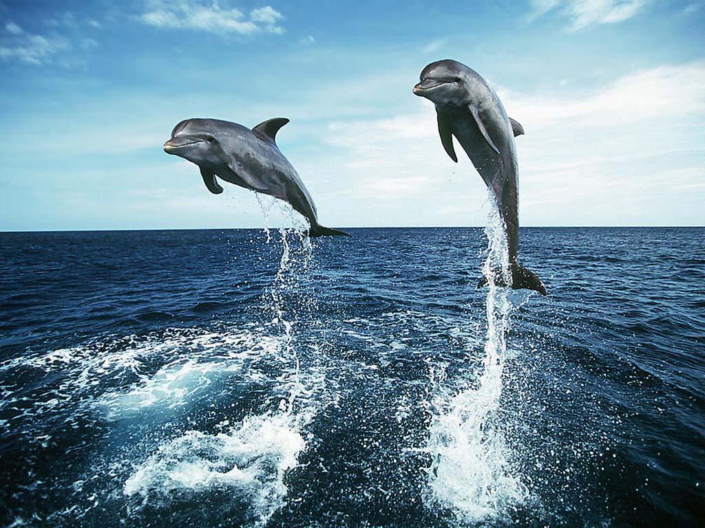 http://3.bp.blogspot.com/-2c5VW68G6Ck/T-lqFMEt27I/AAAAAAAAC9c/dOoxWmlDOhI/s1600/Dolphin+images.jpg