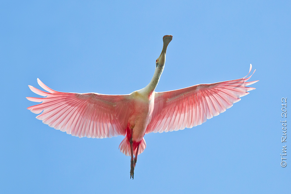 Photography by Tim Rucci: Photographing Roseate Spoonbills in Flight