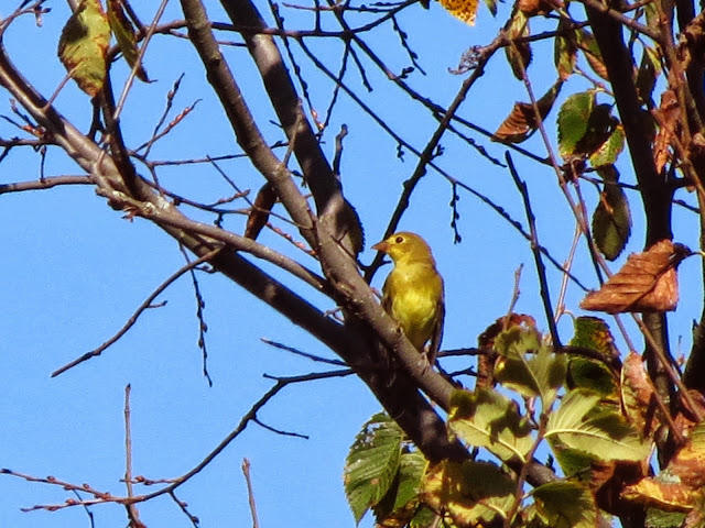 scarlet tanager five