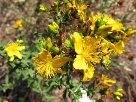 arbusto dai fiori gialli