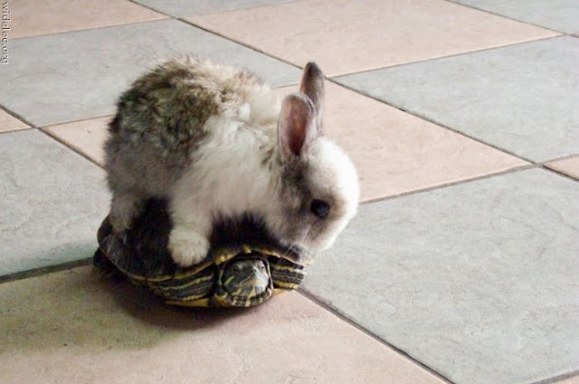 bunny riding tortoise, funny animal pictures of the week