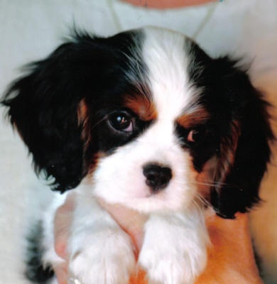 Cute little Cavalier King Charles Spaniel puppy