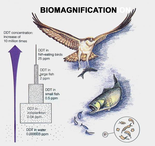 biomagnification tends to occur under situations where there is low water solubility pollution low water concentration and high persistence