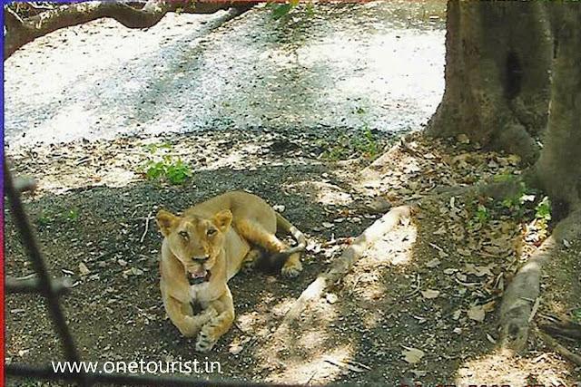 lion safari , silwassa , dadra and nagar haweli