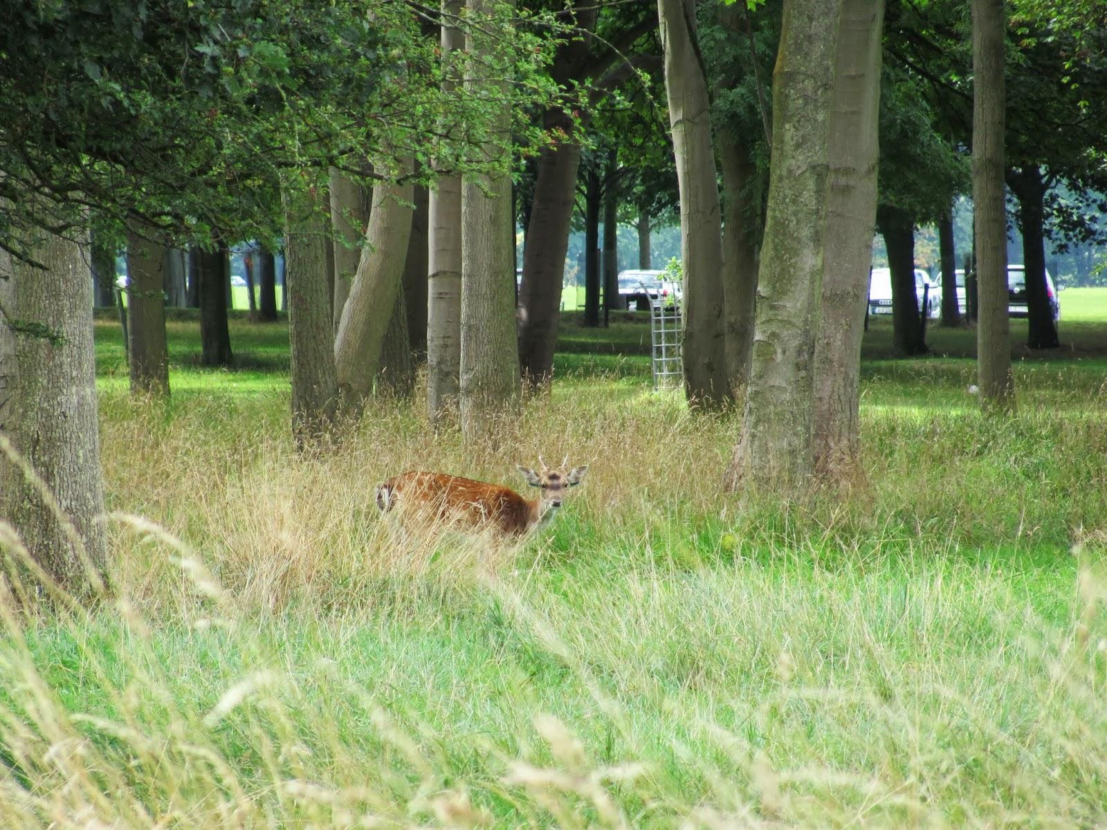 A deer hides in the tall grass at Phoenix Park, Dublin, Ireland