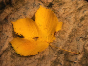 Mira aquí muchas imagenes de otoño · No hay comentarios: una bonita hoja de maple
