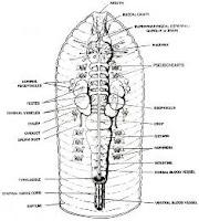 Earthworm Digestive System