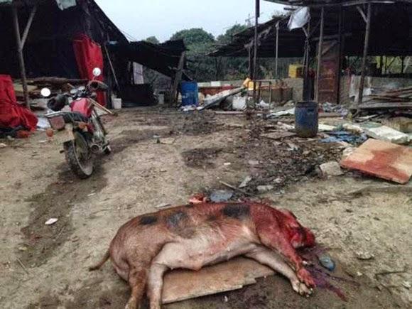 Con dâu tương lai chém chết 71 con lợn vì giận mẹ chồng