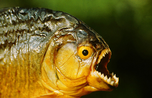 Piranha - True Wildlife Creatures